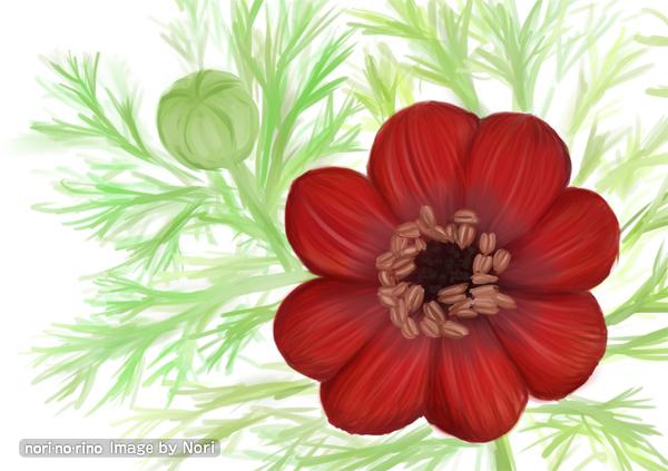 アドニスの花。和名はセイヨウフクジュソウ。