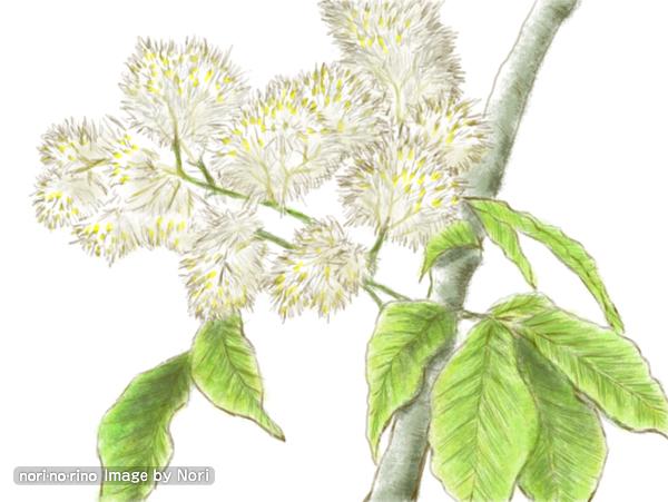 トネリコの花です。