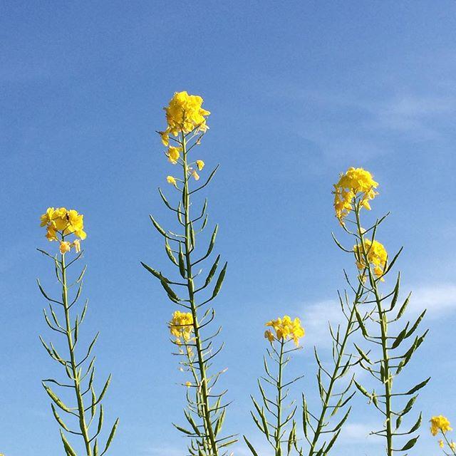 春ですねえ。昨日の外出先でパチリ。いつもはフィルタ使って色々遊んでいるんですが、青空がとても綺麗だったので、そのまま。#春 #空 #菜の花