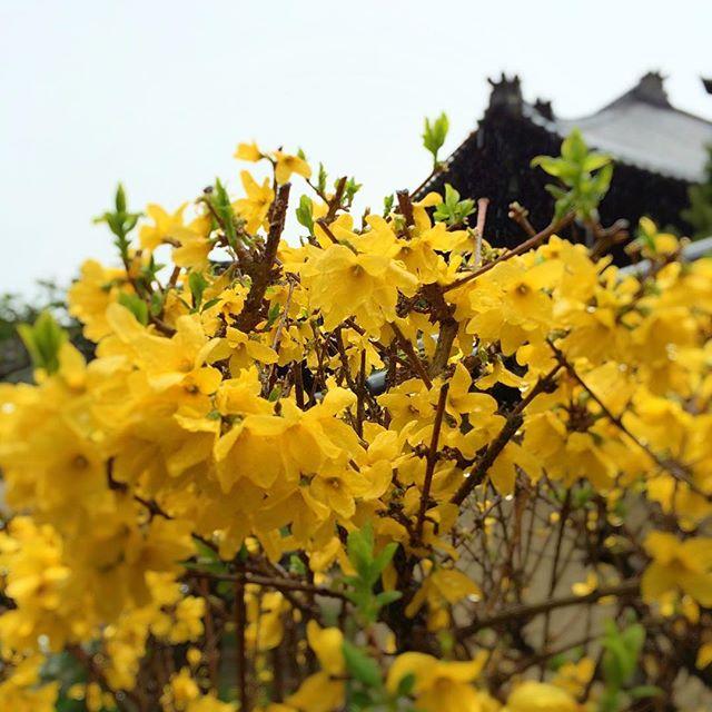 世間では桜、桜となってますが、その他の花も綺麗ですね。黄色、鮮やか!#春 #花